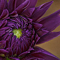 Purple Dahlia by Linda D Lester