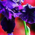 Purple Dutch Iris by Peter Feo