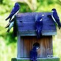 Purple Finch 2 by Scott B Bennett