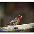 House Finch by Brian Wallace