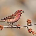 Purple Finch by Daniel Behm