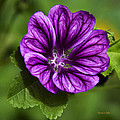 Purple Flower Hollyhock by Christina Rollo