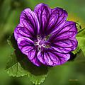 Purple Flower Hollyhock by Christina Rollo