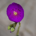 Purple Flower With Buds by Ron White