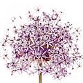 Purple Flowering Onion by Elena Elisseeva