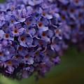 Purple Flowers 1 by Carol Lynch