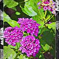 Purple Flowers A by Walter Herrit