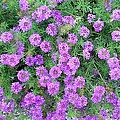 Purple Flowers by Cindy New