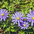 Purple Flowers Lookiing Like Daisies by Constantine Gregory