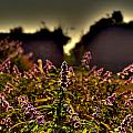 Purple Flowers by Salman Ravish