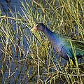 Purple Gallinule 2 by Sandy Swanson