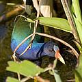 Purple Gallinule by Sandy Swanson