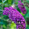 Butterfly Bush Garden Flower by Ginger Wakem