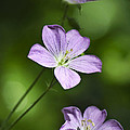 Purple Geranium Flowers by Christina Rollo