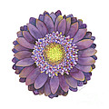 Purple Gerbera Daisy by Amy Kirkpatrick