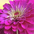 Purple Giant Zinnia by Brenda Parent