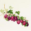 Purple Gooseberry by William Hooker