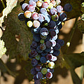 Purple Grapes by Holly Blunkall