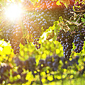 Purple Grapes In Sunshine by Elena Elisseeva