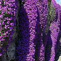 Purple Hanging Flowers by Andy Fletcher