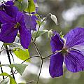 Purple Haze by Vernis Maxwell