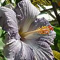 Purple Hibiscus by Lingfai Leung