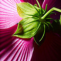 Purple Hibiscus Shot From Behind. by Jan Brons