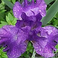Purple Iris After The Rain by Michelle Welles