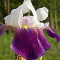 Purple Iris by Daralyn Spivey