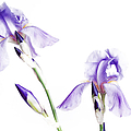 Purple Iris Glow by Andee Design