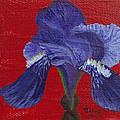 Purple Iris by Jaime Haney