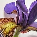 Purple Iris Macro 5 by Tara  Shalton