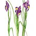 Purple Iris  by Nan Wright