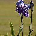 Purple Iris by Nedra Bell