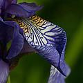 Purple Iris by Robert Storost