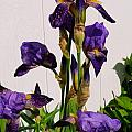 Purple Iris Stalk by Tikvah's Hope