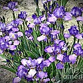 Purple Irises by The Art of Alice Terrill