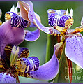 Purple Irises Closeup by Carol Groenen