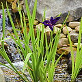 Purple Irises Growing In Waterfall by Penny Lisowski