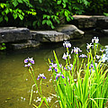 Purple Irises In Pond by Elena Elisseeva