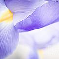 Purple Irises by Lisa McStamp