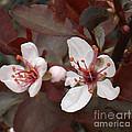 Purple Leaf Sand Cherry Burst by Brenda Brown