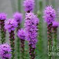 Purple Liatris Flowers by DejaVu Designs