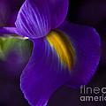 Purple Light Iris Macro by TN Fairey