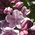 Purple Lilac by Jesse Woodward
