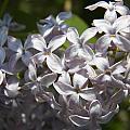 Purple Lilacs II by Corinne Elizabeth Cowherd