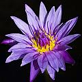 Purple Lilly by Sean Allen