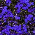 Purple Lobelia by Diane Macdonald
