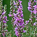Purple Loosestrife by Cheryl Baxter