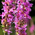Purple Loosestrife Tall by Valerie Kirkwood